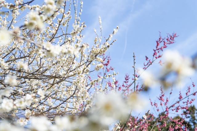 [TrailWalk・埼玉]お花見トレイルウォーク 越生梅林-大高取山 21.03.07 sun.